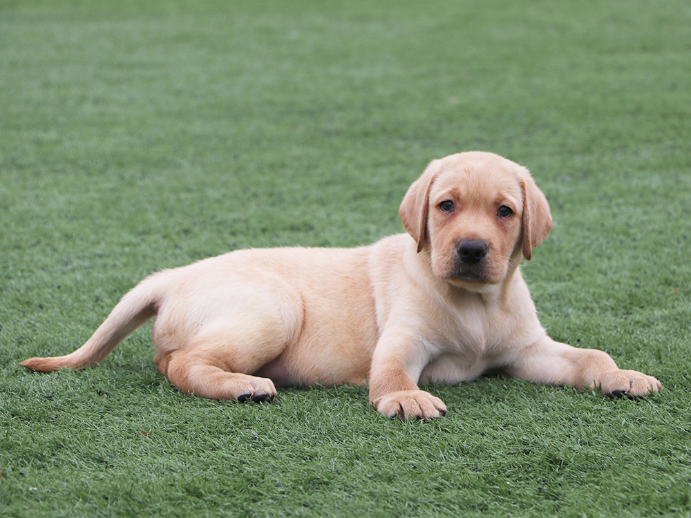 labrador-retriever-dog-2