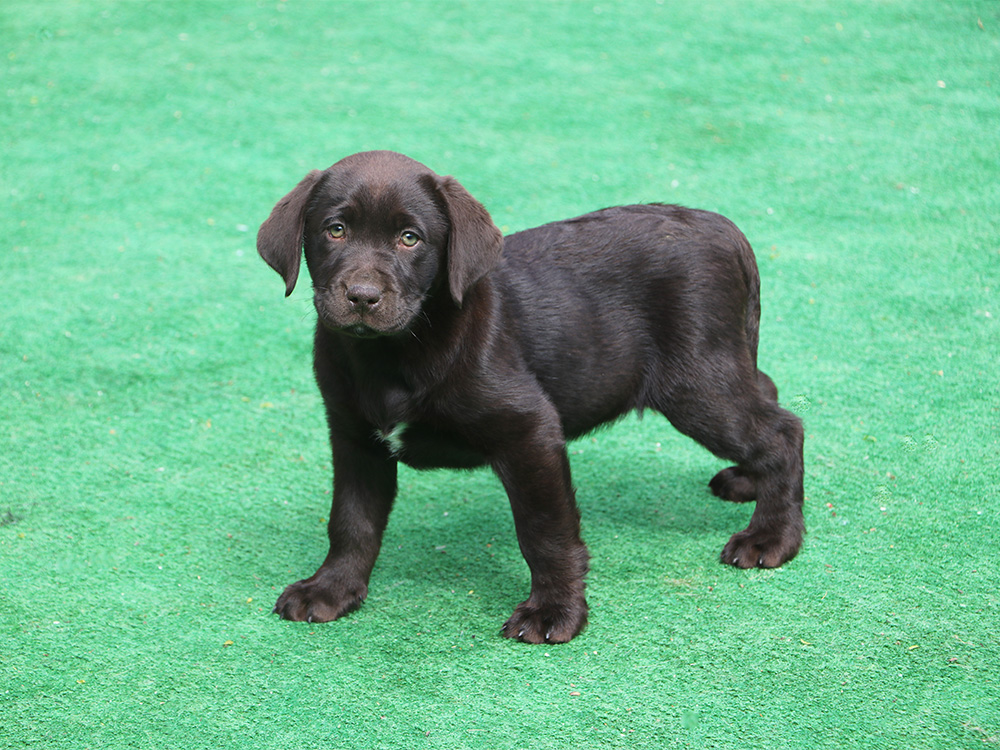 labrador-retriever-dog-3